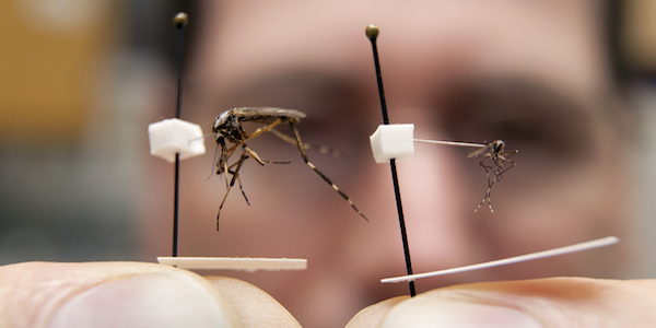 Brazil Is Letting Loose Genetically Modified Mosquitoes To Combat Potentially Deadly Disease