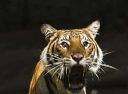 Bestiality Porn Charge Dropped After Tiger Found To Be Guy In Tiger Suit